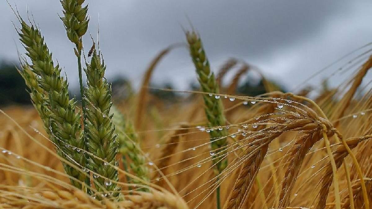 Урожай зернових-2021: Україна може побити історичний рекорд