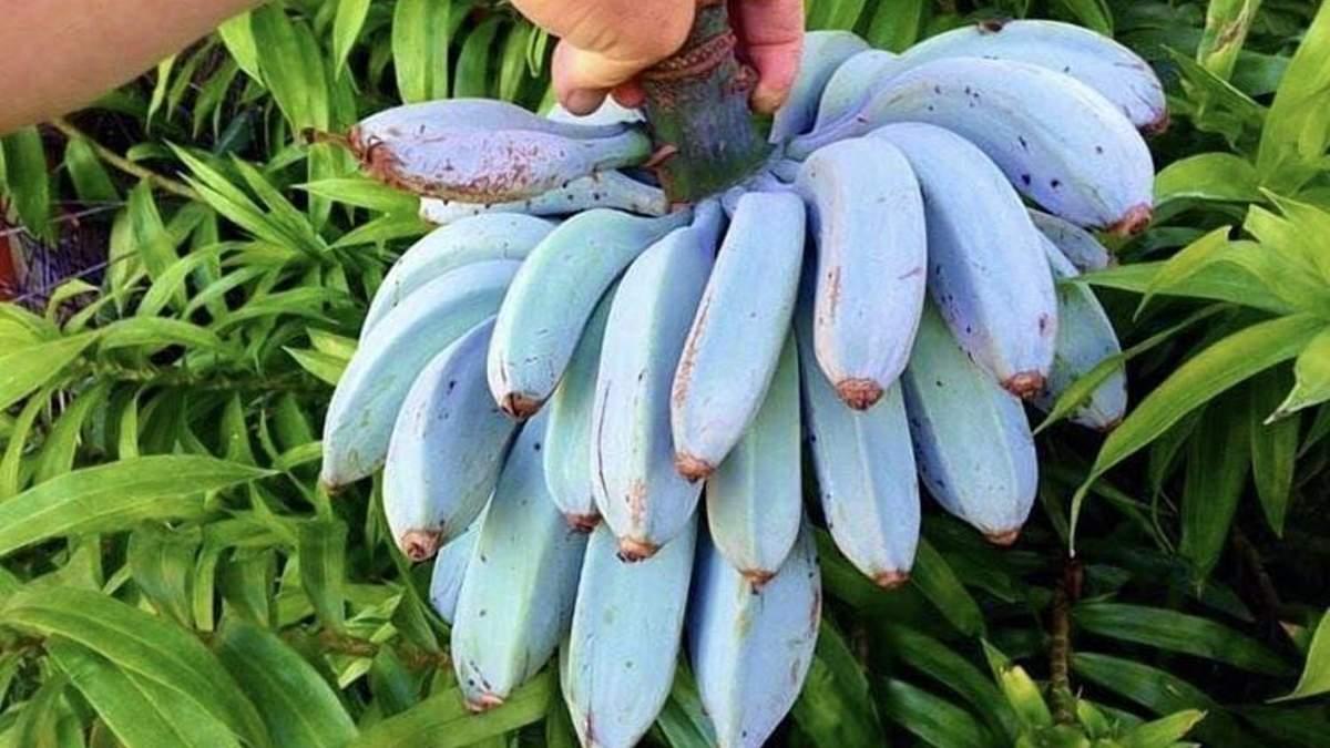 Голубые бананы: ученые создали уникальную новинку