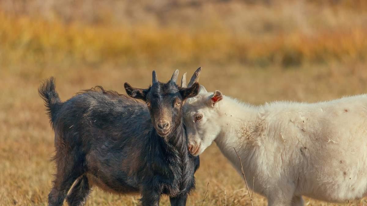 Україна скоротила поголів'я кіз та овець