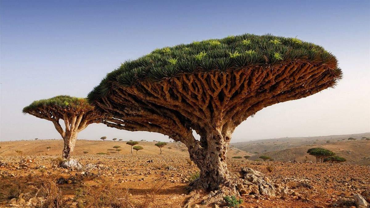 Дерево крови дракона – уникальное растение острова Сокотра, которое может исчезнуть