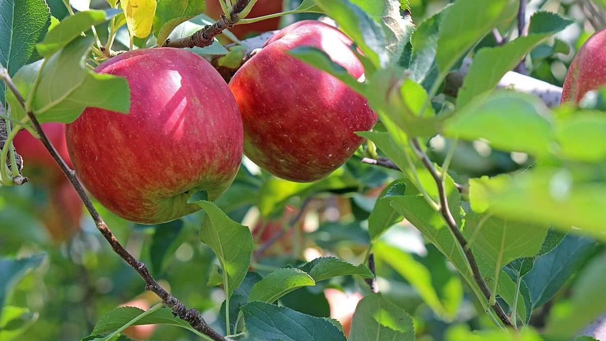 Плодовые деревья в Украине заселены вредителями