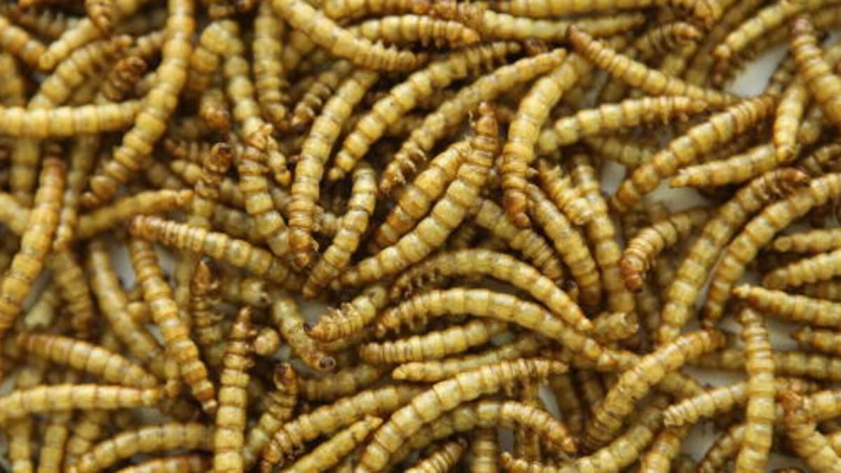 Борошняні черв'яки