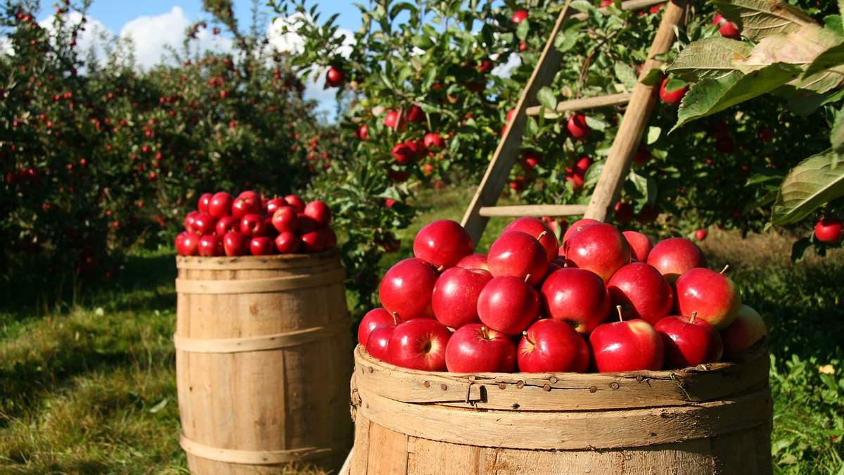 Через заморозки урожай фруктів та ягід опинився під загрозою