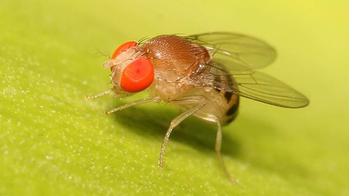 Науковці виявили, що плодові мухи можуть вчитися