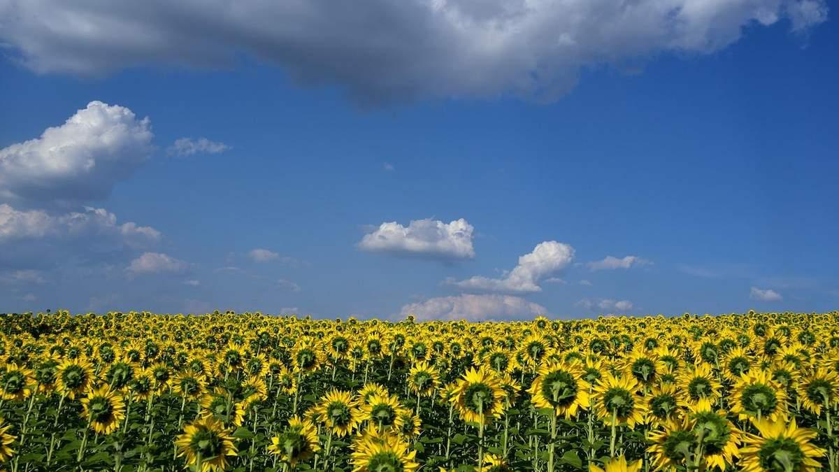 Україна збільшить експорт соняшникової олії