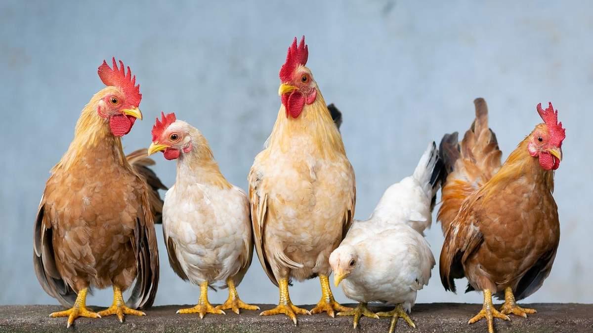Украина увеличила импорт живой птицы