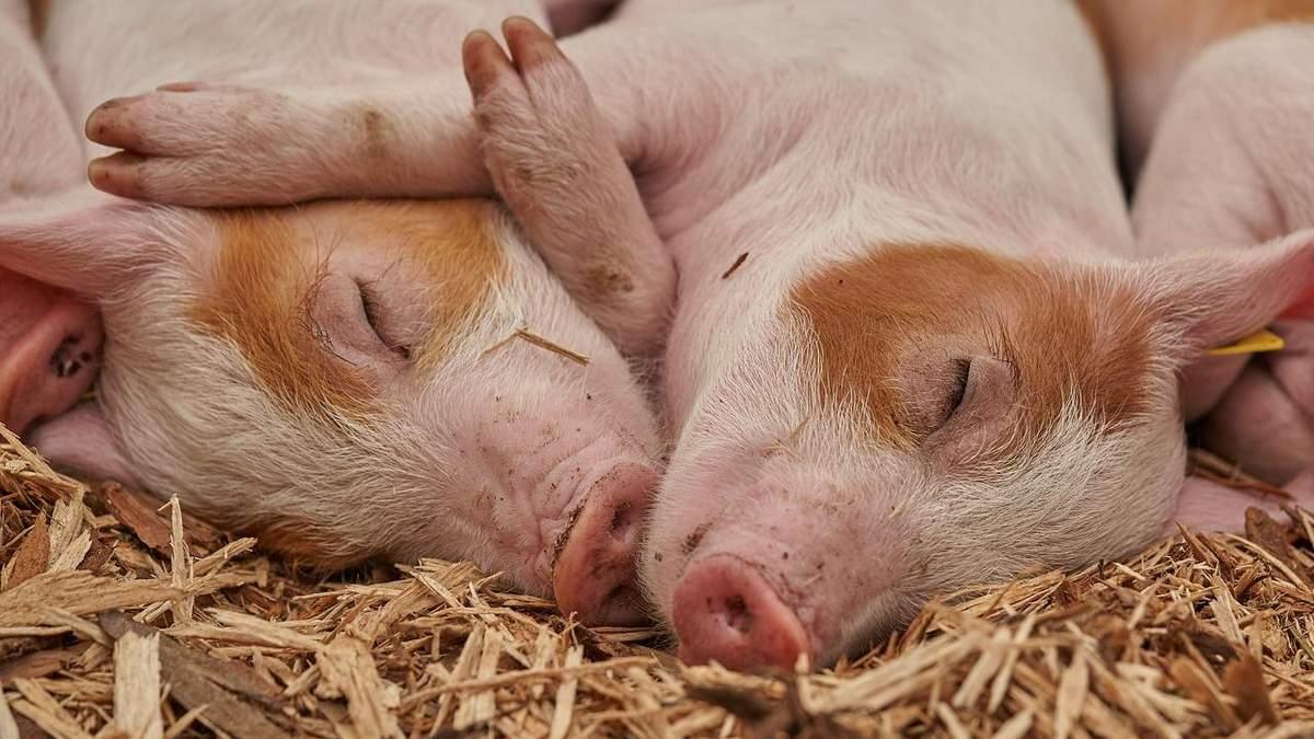 Украина нарастила поголовье свиней