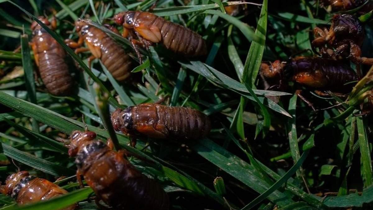 Спали 17 років: США заполонили мільярди цикад