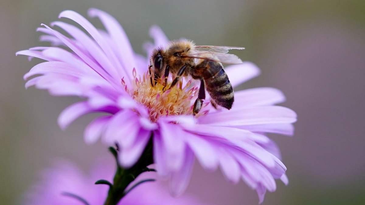 Очисники повітря: вчені виявили дивовижну здатність бджіл
