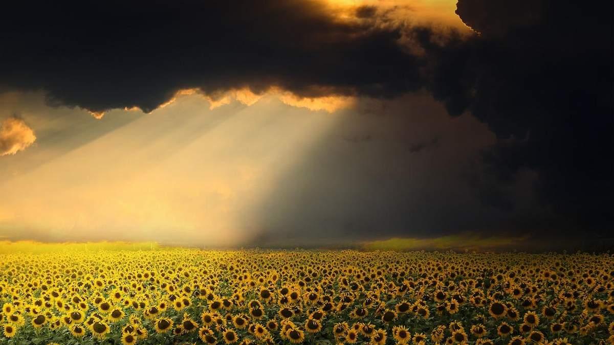 Погода сприяє розвитку хвороб соняшнику