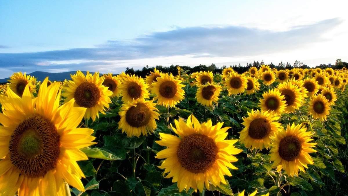 Соняшнику потрібен надійний захист