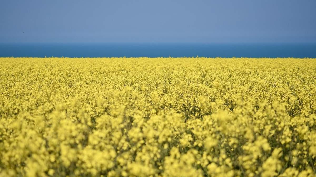 Урожай рапса в Украине может уменьшиться
