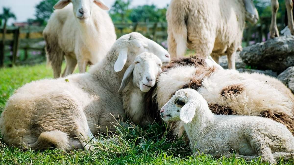 Украина сократила производство шерсти