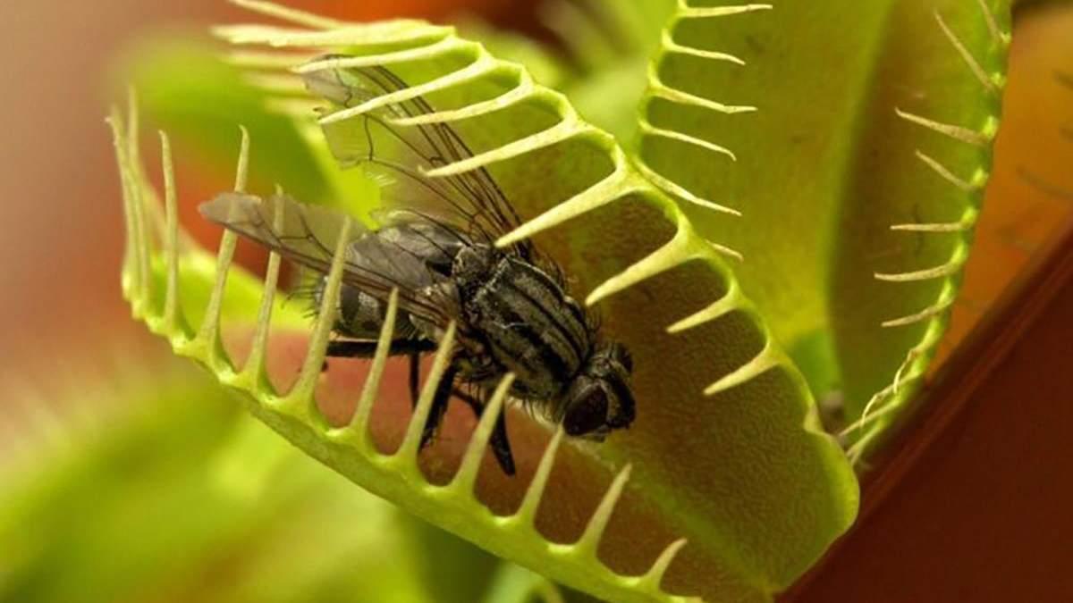 Рослина, яка поїдає комах: як венерина мухоловка ловить свою здобич