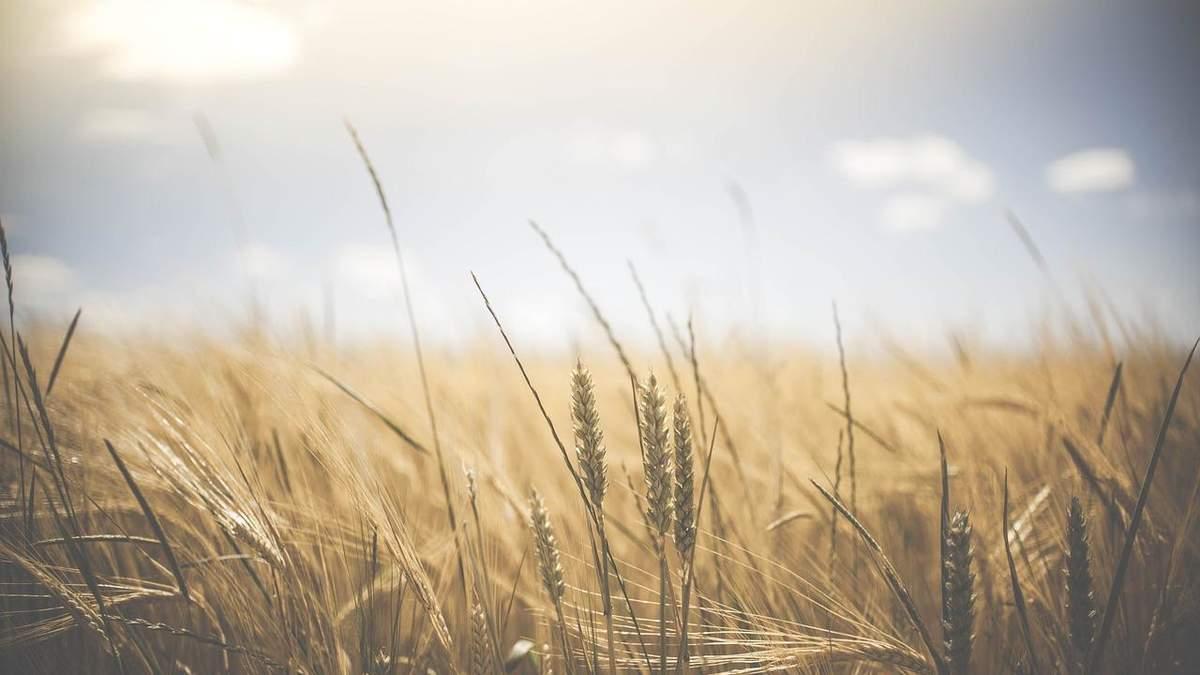 В Україні буде рекордний урожай зернових, – прогноз міністра