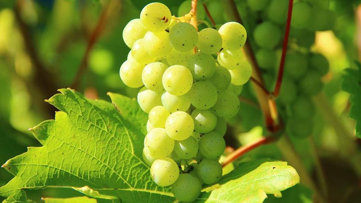 Ученые вывели новые сорта винограда, специально приспособленные к украинским условиям