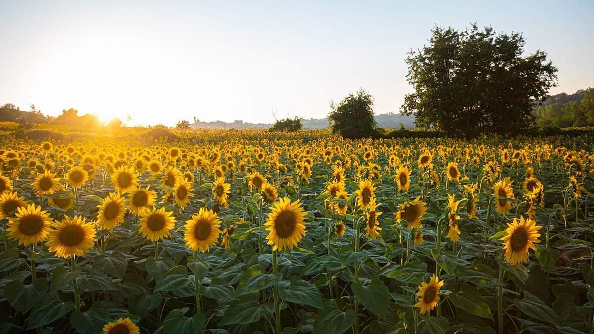 Україна зменшила переробку соняшнику: як з цим пов'язаний експорт