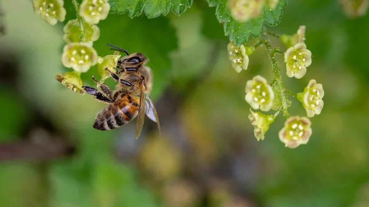 Пчелы, которые не жалят людей: в Украине разводят уникальных насекомых