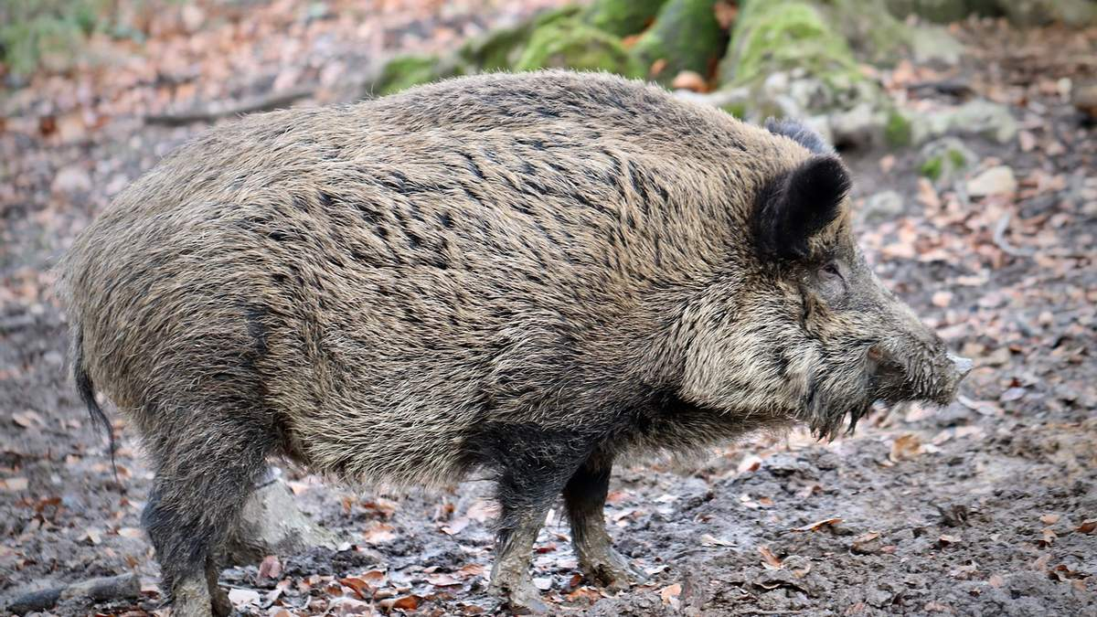 Дикі свині більш шкідливі за автомобілі: неймовірне відкриття - Агро