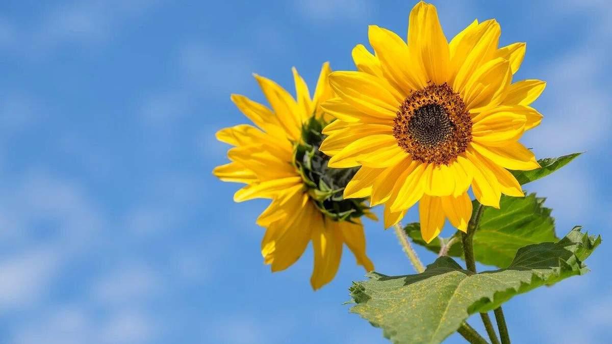 Новий рекорд: в Німеччині виростили найвищий соняшник у світі - Агро