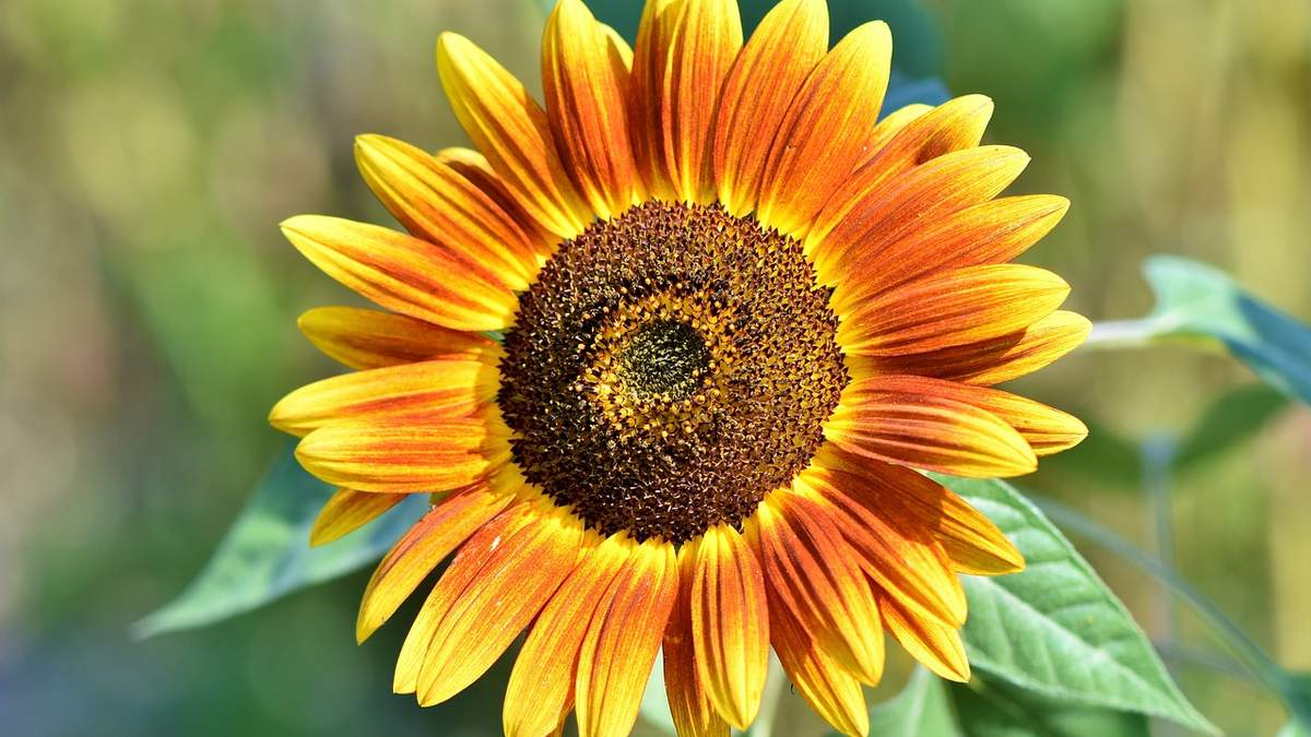 Україна знизила експорт соняшникової олії - 26 июля 2021 - Агро