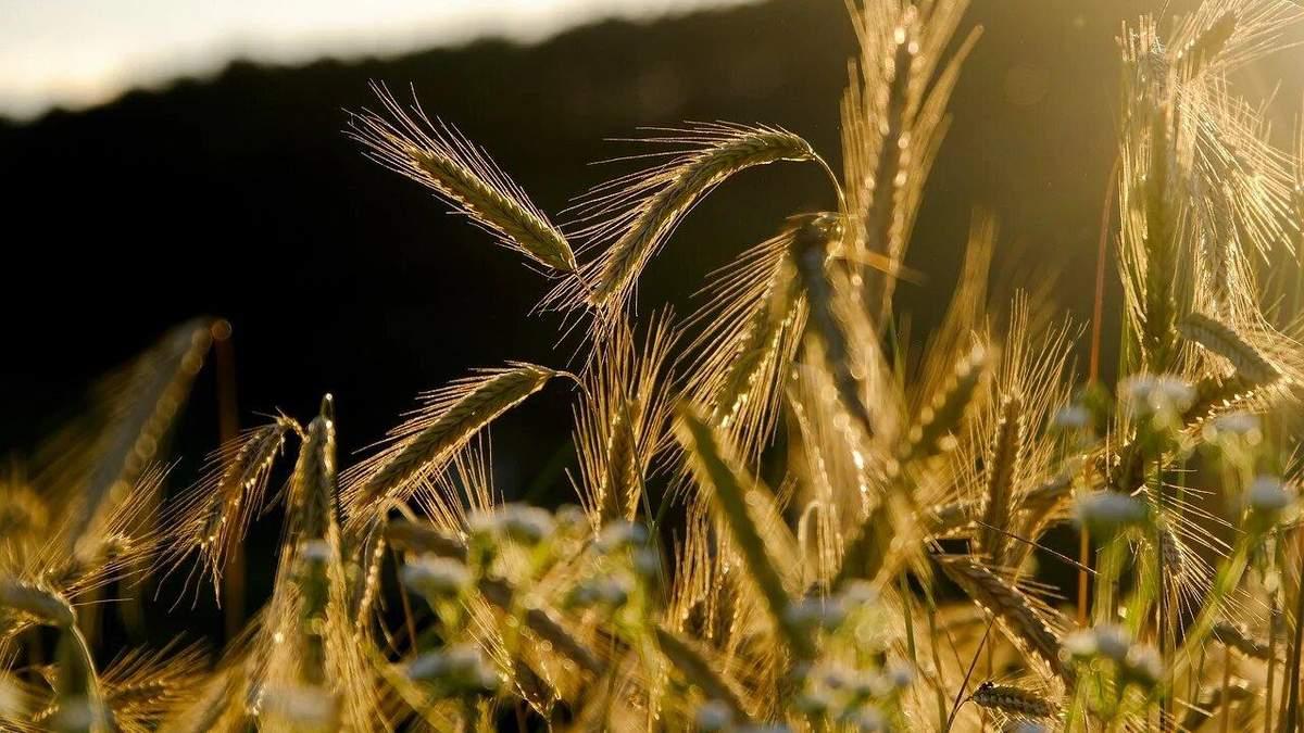Новий рекорд: цього року урожай зерна буде високим - 27 июля 2021 - Агро