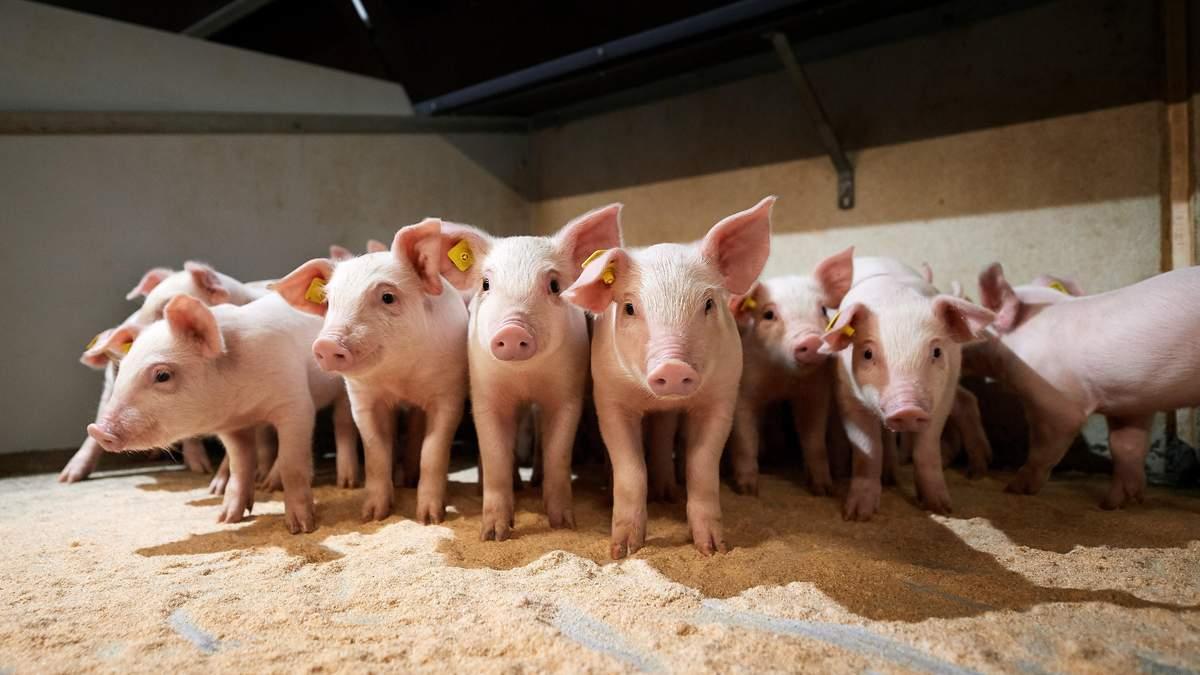 По Украине распространяется африканская чума свиней: зафиксировали также под Харьковом