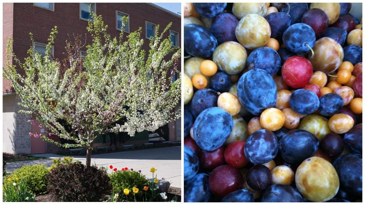 В США профессор Университета выращивает деревья, которые дают 40 различных плодов