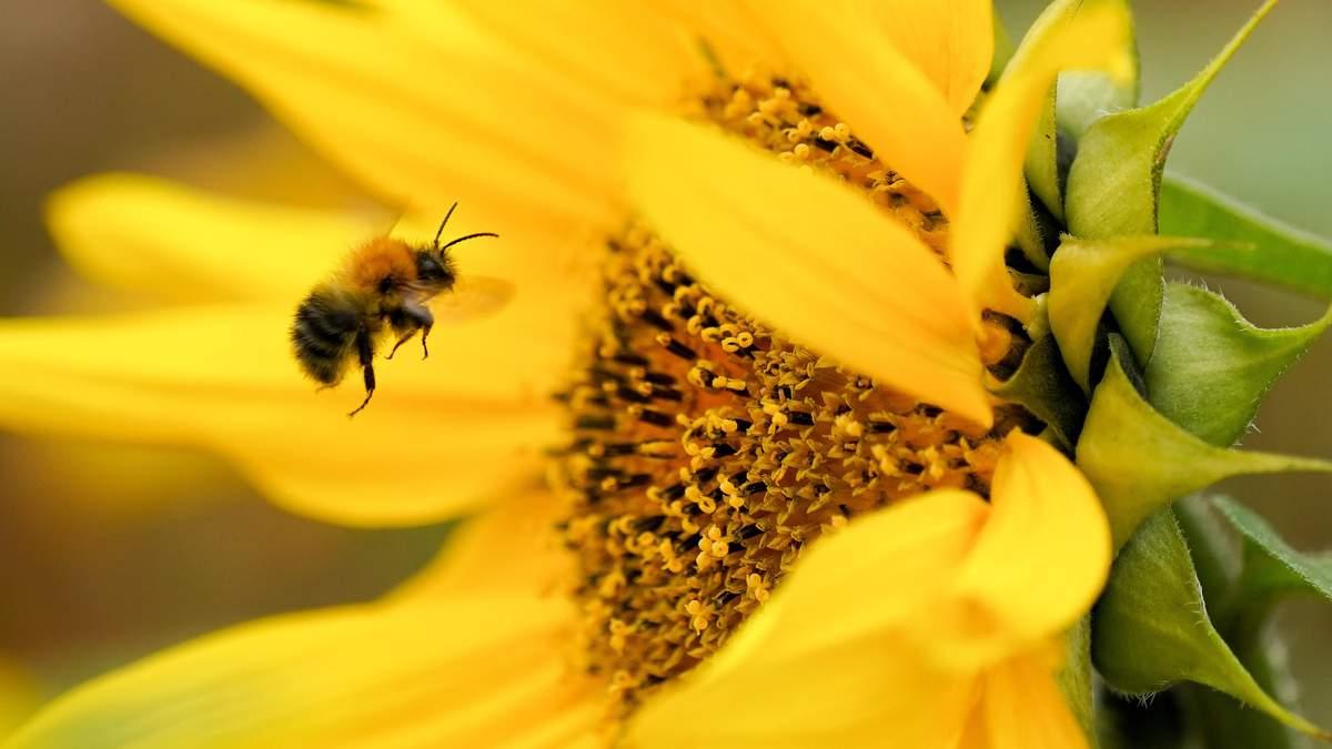 Не виходячи з подвір'я: 5 простих кроків, які врятують життя бджолам - Агро
