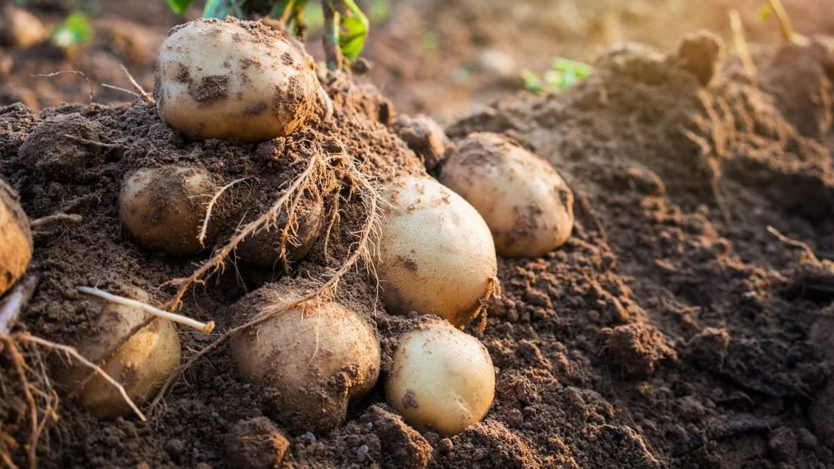 Оце так поворот: Україна стала найбільшим постачальником картоплі в Білорусь - новини Білорусь - Агро