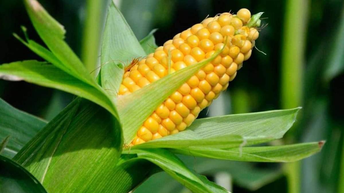 Солодка кукурудза: скільки можна заробити - 5 октября 2021 - Агро