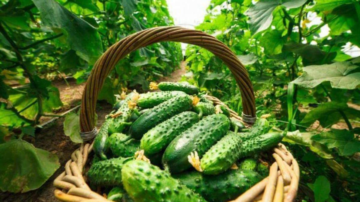 Коли краще зривати огірки: поради фермера - Агро
