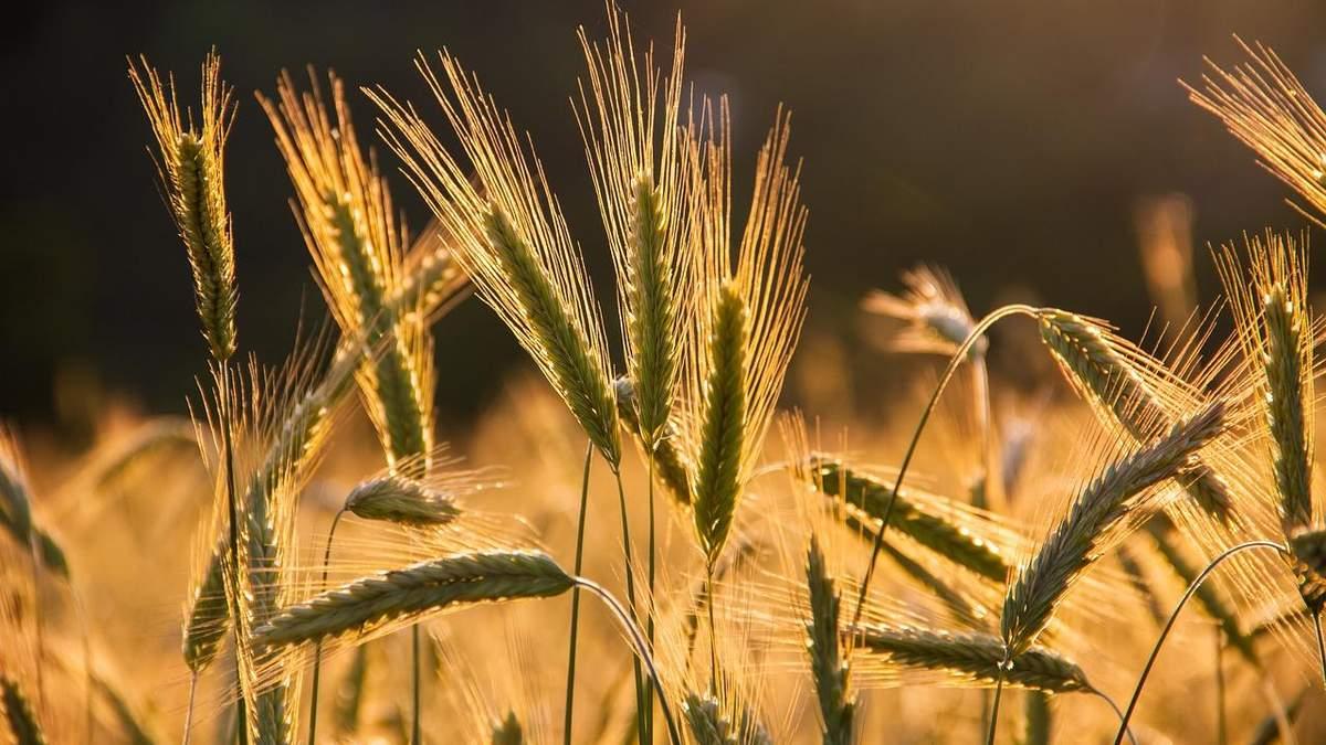 Рекордный урожай при низкой урожайности: особенности украинского аграрного производства - Украина новости - Агро