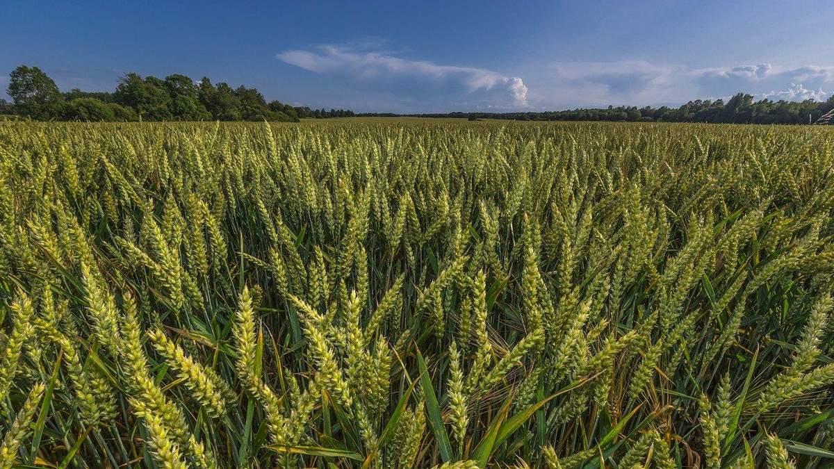 На схилах урожайність пшениці суттєво зменшується –дослідження - 11 октября 2021 - Агро