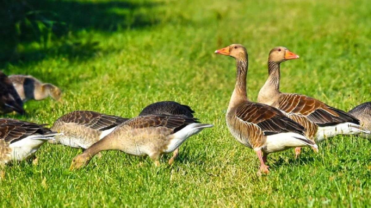 Польські фермери втратили 1200 гусей: чому так сталося і які збитки - Агро