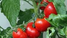 Вражаюче відкриття: помідори вміють попереджати про небезпеку та кликати підмогу