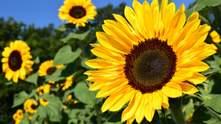 В Україні обмежать експорт соняшникової олії