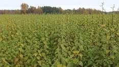 Екзотичний топінамбур почали вирощувати на Волині: куди піде врожай і який заплановано прибуток