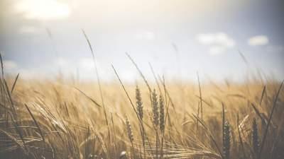 Урожай озимого ячменя должен быть рекордным