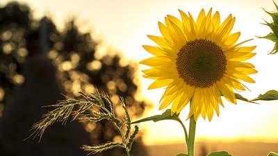 Поздний сев подсолнечника приводит к потере урожая, – агроном