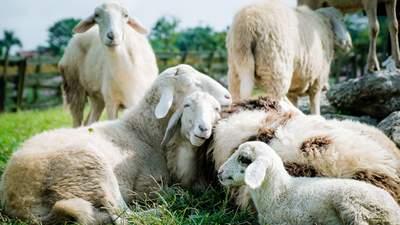 Официальные работники: в Ирландии устроили на работу стадо овец – в чем заключается их работа
