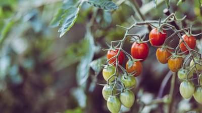Вчені виявили, що помідори можуть попереджати про небезпеку материнську рослину