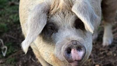 """Контрабанда і """"сірі"""" схеми імпорту м'яса завдають величезні збитки Україні"""