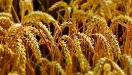 В Хмельницькому вирощуватимуть кольорову пшеницю: насіння розробили українці