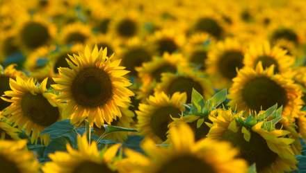 Урожай соняшнику: які мікроелементи найбільше впливають на продуктивність культури