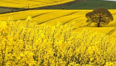 Украина – самый важный производитель рапса для Германии
