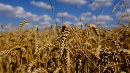 Україна зменшує площі посіву пшениці