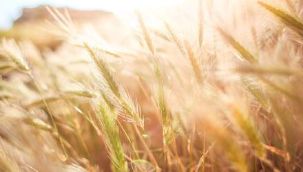 Україна прискорила експорт пшениці