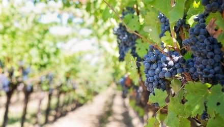 Одесская область сократила площади виноградников