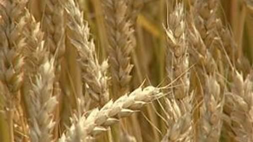 Украина может выращивать в 2 раза больше зерновых